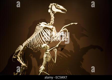 Salt Lake City, Utah - Skeletons of a horse and its human handler at the Natural History Museum of Utah.