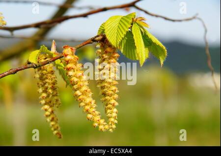 hornbeam blossoms close-up - Stock Photo
