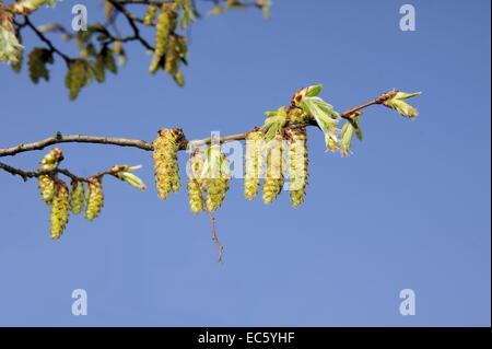 hornbeam blossoms against blue sky - Stock Photo