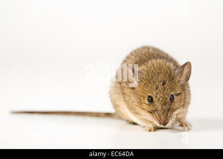 House Mouse Mus musculus - Stock Photo