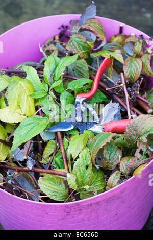 Pruning Autumn fruiting raspberries. - Stock Photo