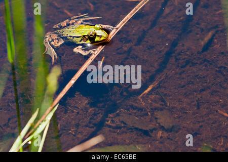 green frog Pelophylax - Stock Photo