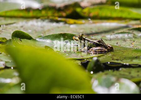 frog Pelophylax - Stock Photo
