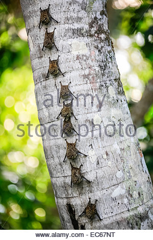 Bats forming line on tree trunk - close-up - Peru - Stock Photo