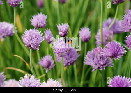 Hummel and chives - Stock Photo