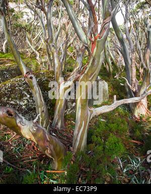 Beautiful Bark Colors on a Eucalypt tree, Victoria, Australia - Stock Photo