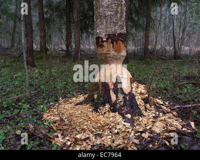 Traces Of The European Beaver Biber Castor Fiber In Estonia Near Tartu - Stock Photo