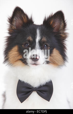 Portrait of Mixed Breed Dog wearing bow-tie in front of white background - Stock Photo