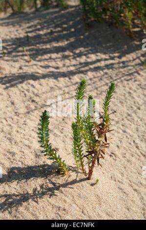 Sea Spurge, Euphorbia paralias, growing on a sand dune at Cabo Trafalgar, Cadiz Province, Andalucia, Spain. November. - Stock Photo