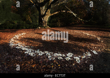 large magic folklore fairy ring beneath a mature old massive copper beech tree in the fall autumn with harsh shadow - Stock Photo