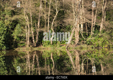 Alder and birch trees beside calm lake shed leaves so trunks stand out like skeletons old ents queuing up in a line - Stock Photo