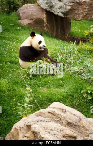 zoo parc beauval giant panda (ailuropoda melanoleuca) - Stock Photo