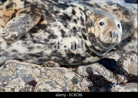 A Grey Seal (Halichoerus grypus) resting on the rocks of the Farne Islands in Northumberland, England - Stock Photo
