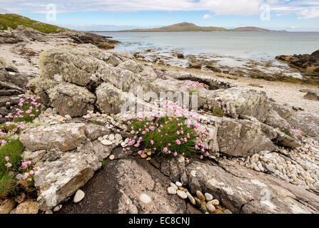 Thrift or Sea Pink flowers (Armeria maritima) growing amongst rocks on beach with view to Eriskay. South Uist Hebrides - Stock Photo