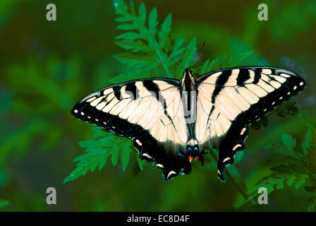 Eastern Tiger Swallowtail, Papilio glaucus, rests on a plant leaves in Garvy Reservoir's surrounding forest, Bloomington, - Stock Photo