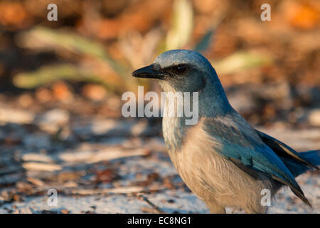 Close up portrait of a Florida scrub jay- Aphelocoma coerulescens - Stock Photo