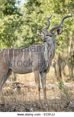 Greater Kudu, Okavango Delta, Botswana - Stock Photo