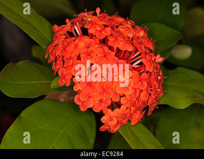 Cluster of vivid red flowers of Ixora 'Prince of Orange' , a flowering shrub, against background of deep green foliage - Stock Photo
