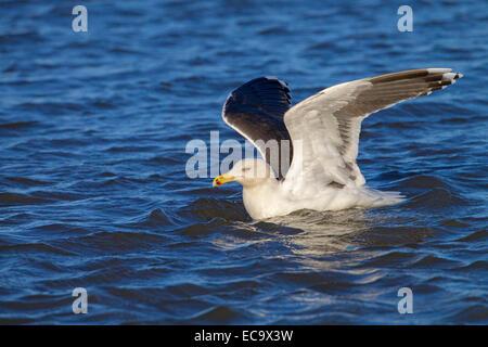 Lesser Black-backed Gull Larus fuscus landing on the sea - Stock Photo
