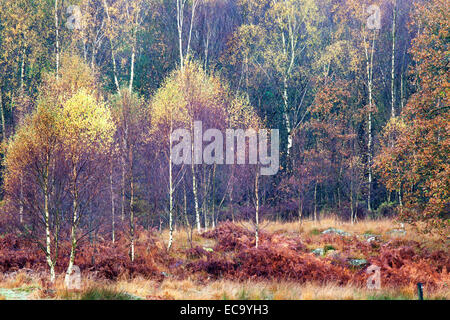 Silver Birch Trees in Autumn near Coniston Lake District Cumbria England - Stock Photo