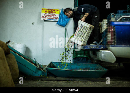 Man emptying crate of freshly picked olives - Stock Photo