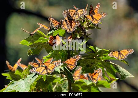 Monarch butterfly (Danaus plexippus), winter quarters, El Rosario, Monarch Butterfly Biosphere Reserve, Mariposa - Stock Photo