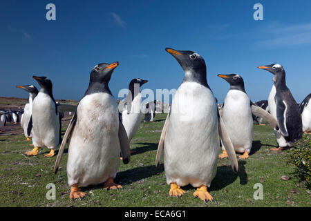 Gentoo penguins (Pygoscelis papua) Sea Lion Island, Falkland Islands - Stock Photo