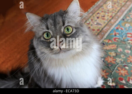 Long haired grey cat with white bib looking up - Stock Photo