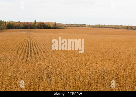 A wheat field in Autumn / Fall on Prince Edward Island, Canada - Stock Photo