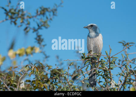 Florida scrub jay guard on the lookout for hawks and other predators - Aphelocoma coerulescens - Stock Photo