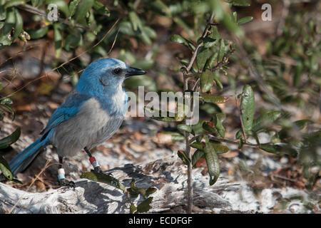 Florida scrub jay foraging on the ground - Aphelocoma coerulescens - Stock Photo