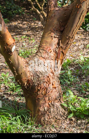 The deciduous Paperbark maple, Acer griseum, in the Sapindaceae family, with characteristic unusual peeling bark. - Stock Photo