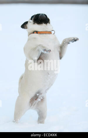 A pug dog standing on two legs in the snow. - Stock Photo