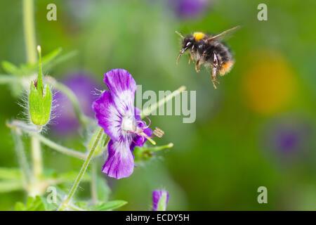 Early Bumblebee (Bombus pratorum) worker in flight after feeding on Dusky Cranesbill  (Geranium phaeum) in a garden. - Stock Photo