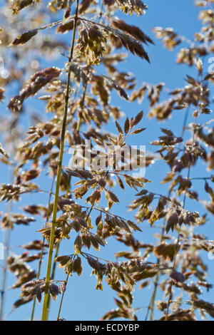 Yorkshire Fog grass (Holcus lanatus) flowering on a dewy morning. Powys, Wales. June. - Stock Photo