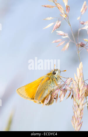 Small Skipper butterfly (Thymelicus sylvestris)resting amongst grasses . Powys, Wales. June. - Stock Photo