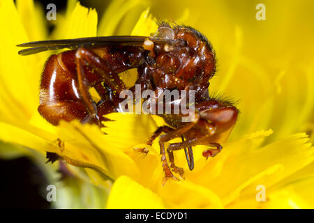Thick-headed Fly (Sicus ferrugineus) adult female feeding in a Dandelion flower The larvae are parasites of bumblebees. - Stock Photo