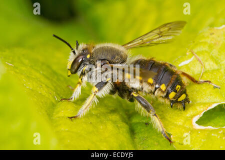 Wool Carder Bee (Anthidium manicatum) adult male resting on a leaf Seaford, Sussex. July. - Stock Photo