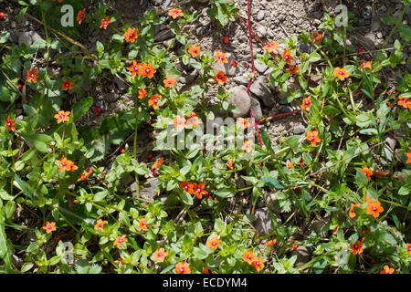 Scarlet Pimpernel (Anagallis arvensis) flowering in an arable field. Powys, Wales. July. - Stock Photo