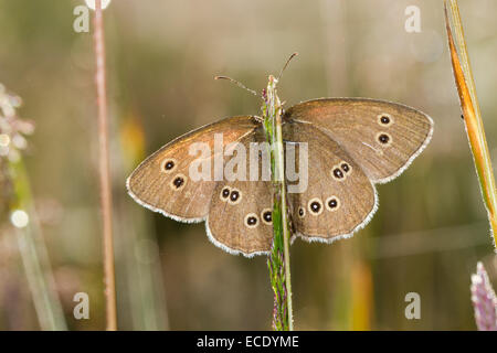Ringlet Butterfly (Aphantopus hyperantus) adult  basking amongst grasses with wings open. Powys,Wales. July. - Stock Photo