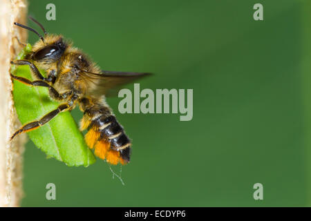 Patchwork Leaf-cutter bee (Megachile centuncularis) adult female in flight at nest entrance with a section of leaf. - Stock Photo