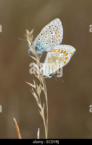 Common Blue butterflies (Polyommatus icarus) adult pair mating. Powys, Wales. August. - Stock Photo
