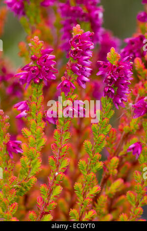 Common Heather or Ling (Calluna vulgaris) 'Firefly' variety flowering in a garden. Powys, Wales. August. - Stock Photo