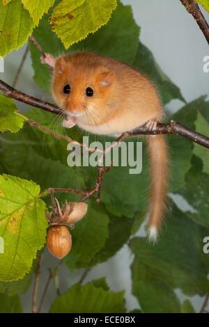 Hazel dormouse, common dormouse, hazelnuts, cobs, Haselmaus, Hasel-Maus, Haselnüsse, Muscardinus avellanarius, Muscardin, - Stock Photo