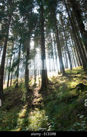 European spruce forest at Harz National Park, Germany - Stock Photo
