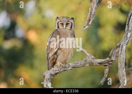 Verreaux's eagle-owl (Bubo lacteus) sitting on a branch, Kruger National Park, South Africa - Stock Photo