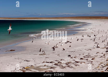Dolphin gull (Leucophaeus scoresbii) on a beach with gentoo penguins (Pygoscelis papua) and scattered Magellanic - Stock Photo