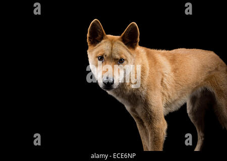 Australian native dog, the dingo - Stock Photo