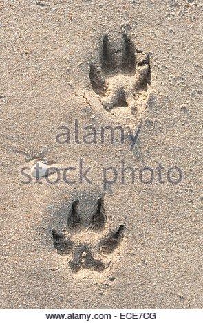 D Ijmuiden / Zandvoort. Dog tracks in the sand - Stock Photo