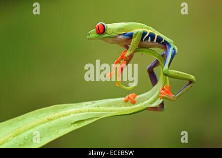 Indonesia, Riau Islands, Batam City, Red-eyed tree frog on leaf - Stock Photo